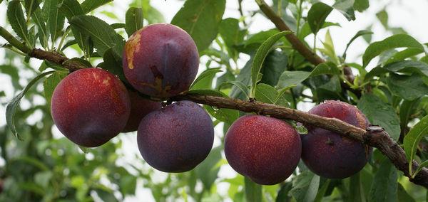 植物新品种保护名录的植物能授予专利吗