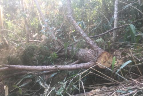 盜伐林木罪如何認定
